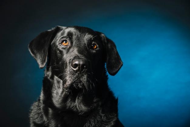 Smart labrador retriever Foto Gratuite
