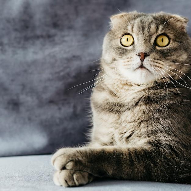 Sorpreso gatto piega sul divano Foto Gratuite