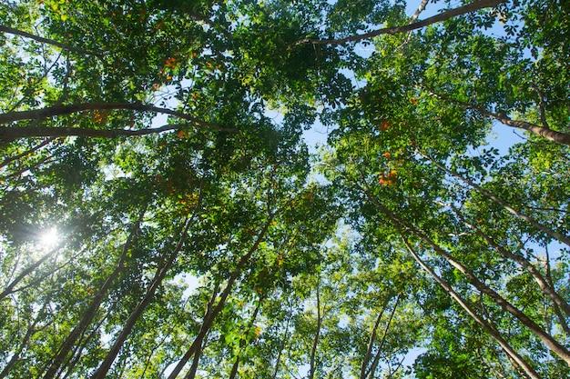 Sotto vista dell'albero della gomma para. piantagione di gomma Foto Premium