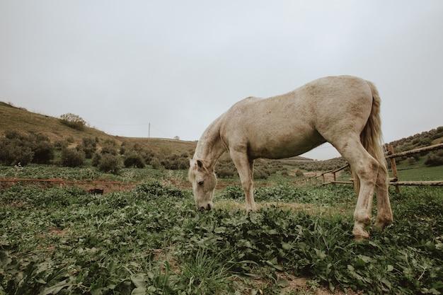 Sparato di un cavallo bianco che pasce sul campo di erba verde Foto Gratuite