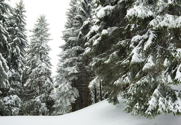 Spessi soffici abeti innevati crescono tra la foresta Foto Premium
