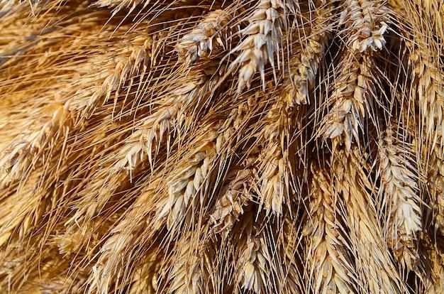 Spighe di grano dopo il raccolto autunnale. messa a fuoco selettiva. Foto Premium