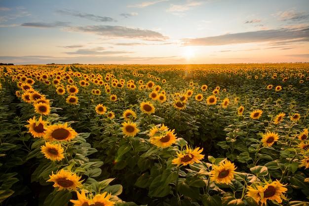 Splendido paesaggio del grande campo di girasoli la sera contro il sole al tramonto Foto Premium
