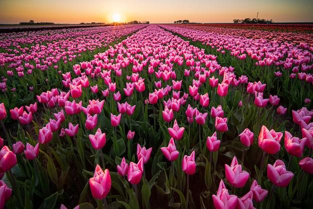 Splendido scenario di un campo di tulipani sotto il cielo al tramonto Foto Gratuite