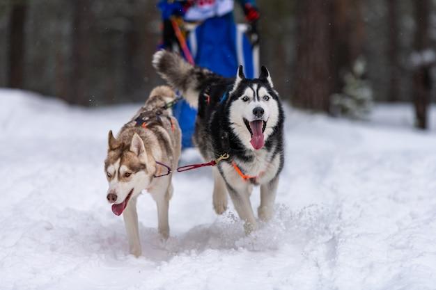 Squadra di cani da slitta husky nella corsa dell'imbracatura e tirando il driver del cane. corse di cani da slitta. competizione di campionati sportivi invernali. Foto Premium