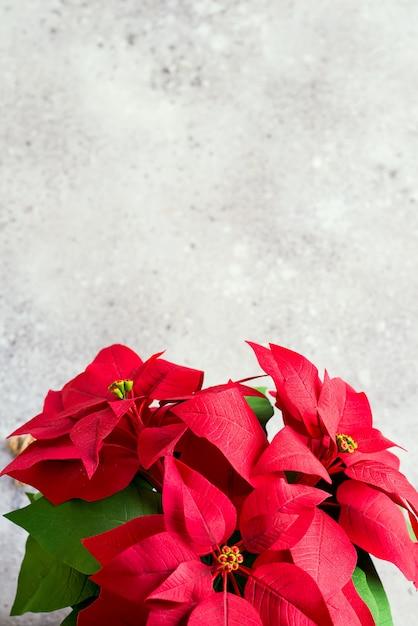 Stella di natale del fiore di natale su luce. foto tonica naturale Foto Premium