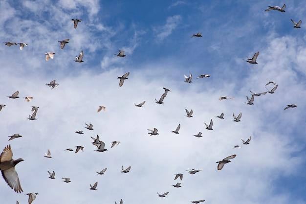 Stormo di volo di piccione da corsa contro il cielo blu Foto Premium