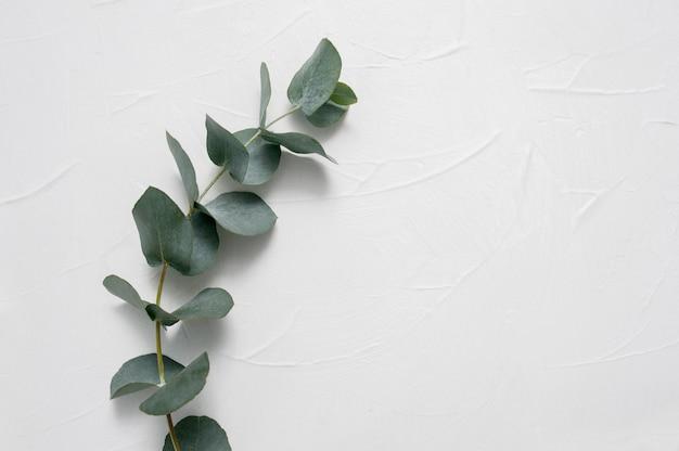 Struttura delle foglie dell'eucalyptus su bianco Foto Premium