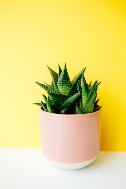 Succulente e cactus haworthia in un vaso di fiori rosa su uno sfondo di colore solido con lo spazio della copia. arredamento moderno e minimalista. Foto Premium