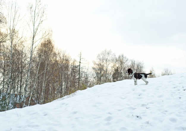 Supporto sveglio dello spaniel inglese da salto del cucciolo sull'aria aperta. camminare Foto Premium