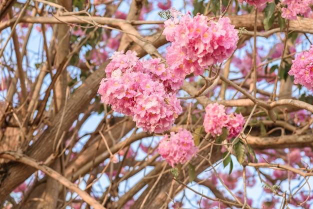 Tabebuia rosea è un albero neotropicale di fiori rosa. nome comune albero di tromba rosa, poui rosa, tec rosa Foto Premium