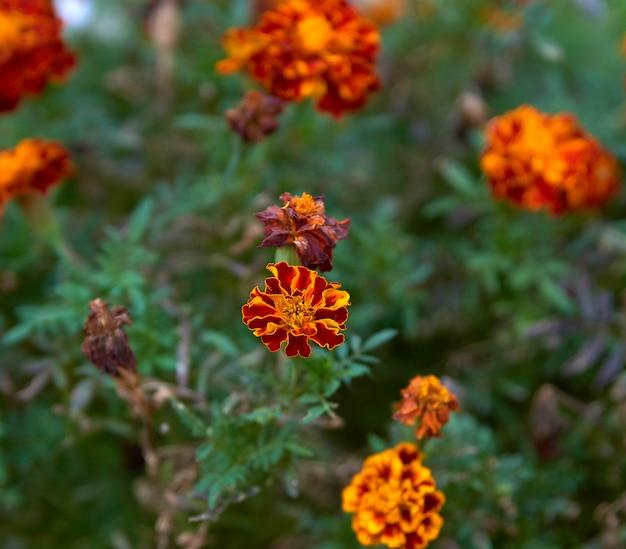Tageti di fioritura nel giardino, vista dall'alto Foto Premium