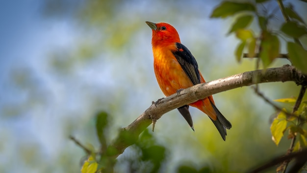 Tanager scarlatto su un ramo Foto Gratuite