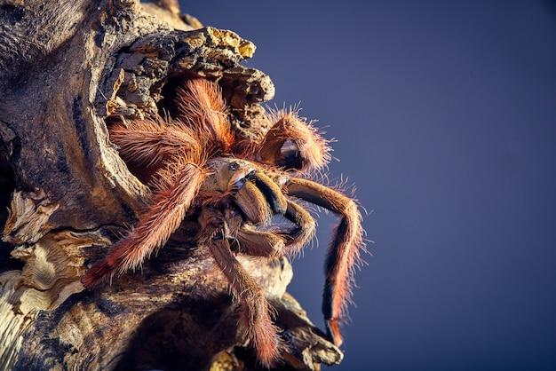 Tarantula tapinauchenius gigas Foto Gratuite
