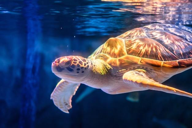 Tartaruga di mare che nuota nella priorità bassa subacquea. Foto Premium