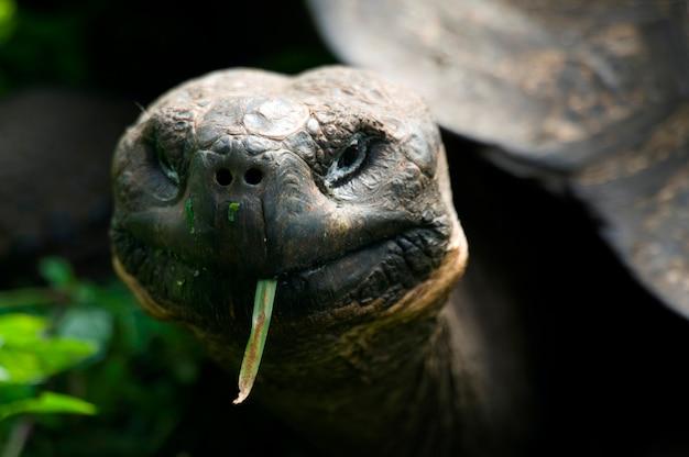 Tartaruga gigante, isola di santa cruz, isole galapagos, ecuador Foto Premium