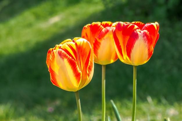 Terry giallo con il primo piano rosso del tulipano Foto Gratuite