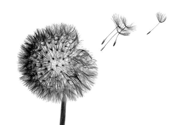 Testa di fioritura nera fiore di tarassaco con semi di volo nel vento isolato Foto Premium