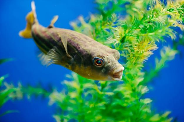 Tetraodon lineatus galleggia nel primo piano dell'acquario. pesce predatore dentato giallo. Foto Premium