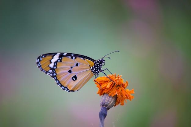 Tiger butterfly normale sul fiore Foto Premium
