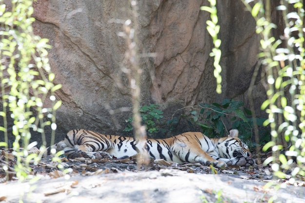 Tigre indocinese (panthera tigris corbetti). Foto Premium