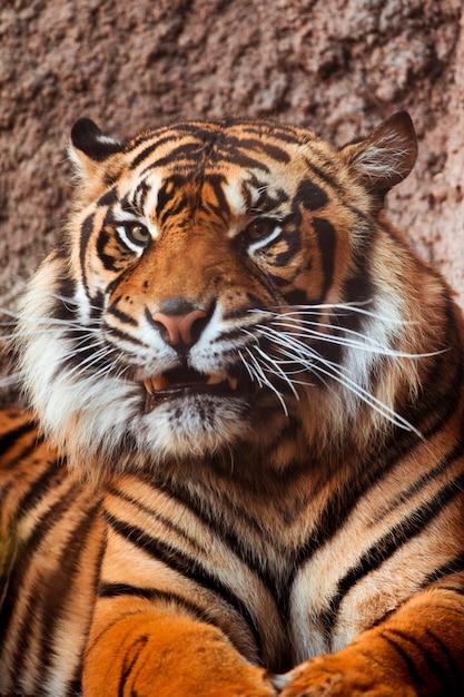 Tigre Foto Gratuite