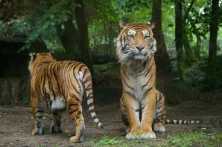 Tigri grande scaricare foto gratis - Images tigres gratuites ...