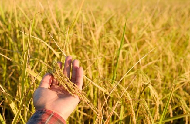 Tocca a mano le orecchie alla fattoria, il riso si asciuga sul campo Foto Premium