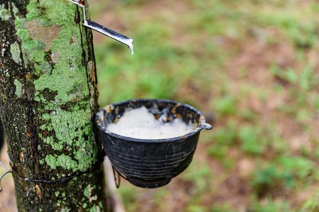 Toccando l'albero di gomma del lattice, lattice di gomma estratto dall'albero di gomma, raccolto in tailandia. Foto Premium