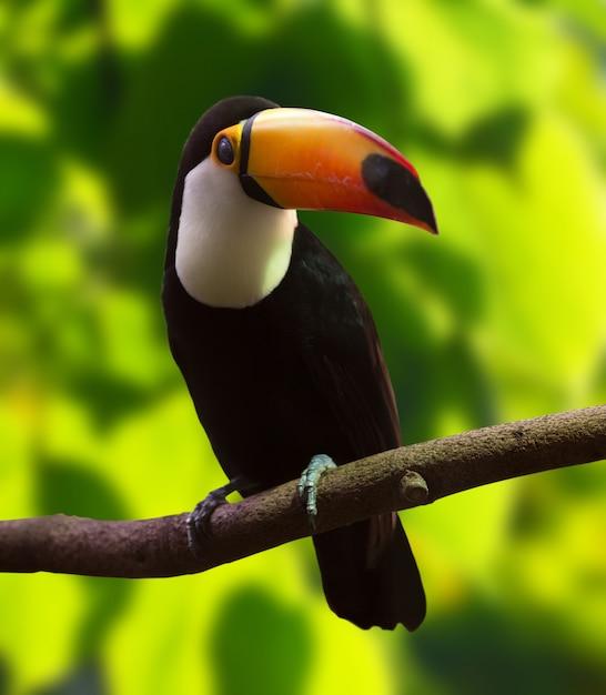 Toco toucan (ramphastos toco) Foto Gratuite