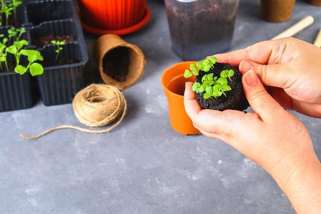 Trapiantare, piantare, spruzzando piantine su uno sfondo grigio cemento. Foto Premium