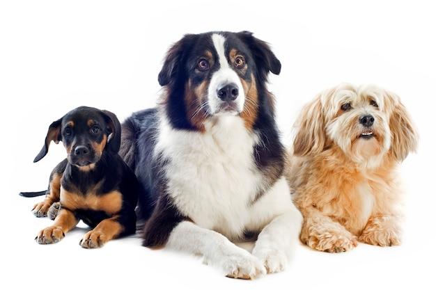 Tre cani su bianco Foto Premium