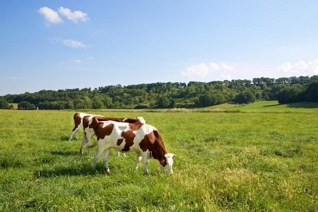 Tre mucche che pascolano sui campi Foto Premium