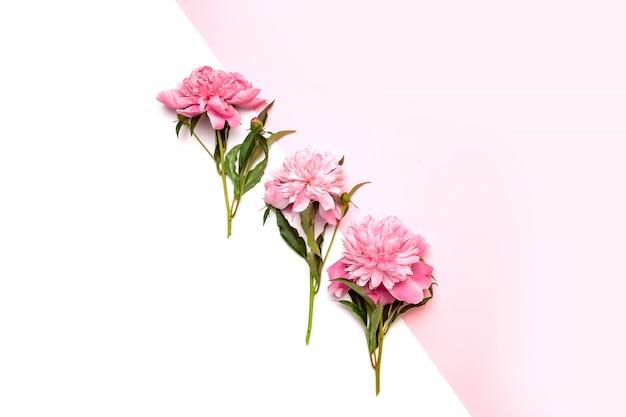 Tre peonie rosa brillante al centro della composizione su bianco e rosa Foto Premium