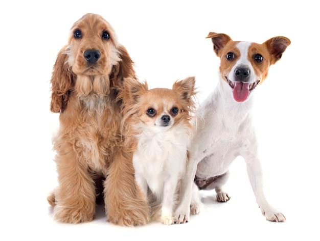 Tre piccoli cani Foto Premium