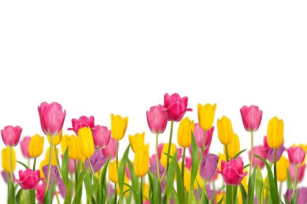 Tulipani della primavera di colore isolati su fondo bianco. Foto Premium
