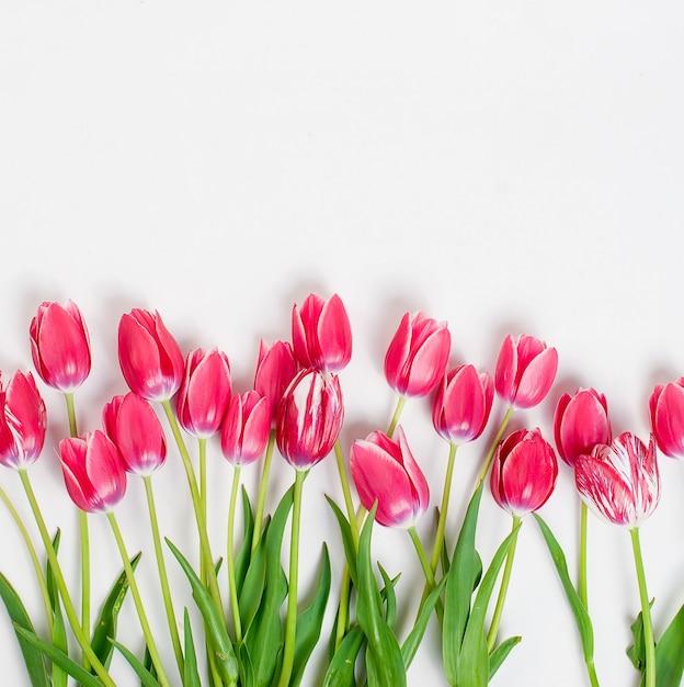 Tulipani rosa in fila su sfondo bianco Foto Premium