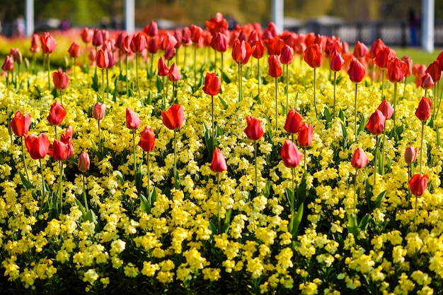 Tulipani rossi vicino a buckingham palace a londra Foto Premium