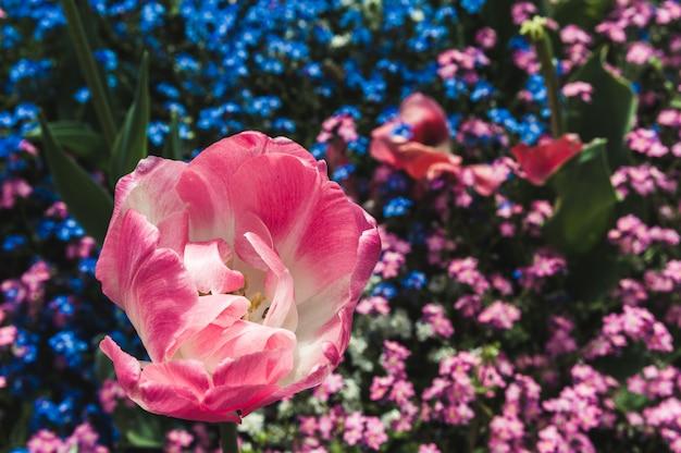 Tulipano rosa a fiore pieno sui nontiscordardime Foto Premium