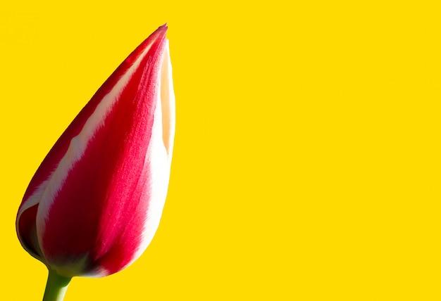 Tulipano rosso su uno sfondo giallo banner. bel fiore. Foto Premium