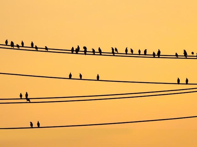 Uccelli di mynas che si siedono sui cavi e sul cielo di tramonto Foto Premium