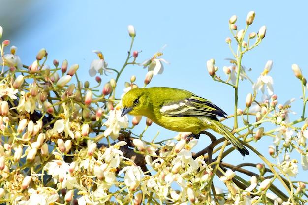 Uccello comune di iora su un ramo di albero Foto Premium