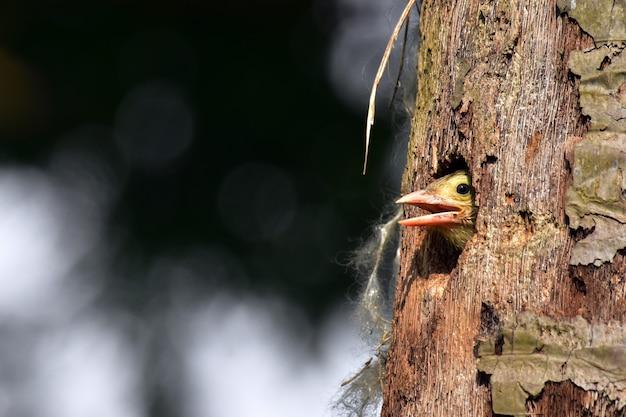 Uccello del barbet al forno al nido Foto Premium