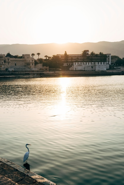 Uccello del egret nel lago pushkar nel ragiastan, india Foto Gratuite