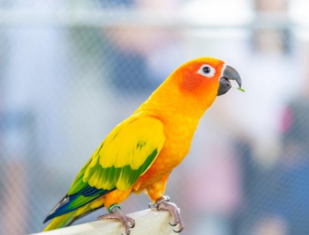 Uccello di amore arancio che sta sul bastone di legno Foto Premium