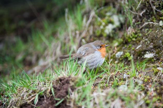 Uccello red robin vicino in una foresta Foto Premium