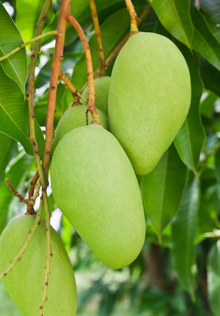 Un albero di mango verde Foto Premium