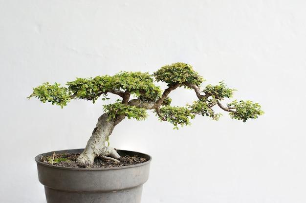 Un altro bonsai di olmo cinese Foto Premium