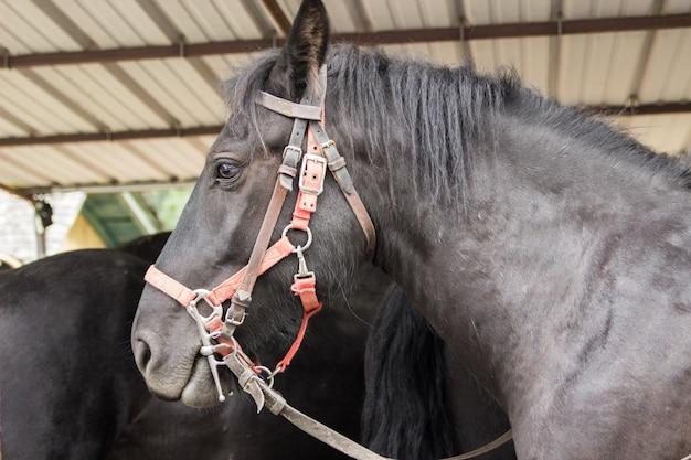 Un bellissimo cavallo nero in una stalla Foto Premium