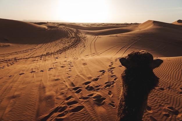 Un bellissimo paesaggio delle dune di sabbia nel deserto del sahara in marocco. fotografia di viaggio. un cammello che cammina nel deserto Foto Premium